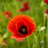 Summer Poppies.jpg