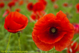 A Beautiful Poppy Field.jpg