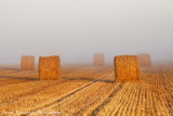 A Field Of Gold On A Cool Misty Morning.jpg