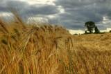 The Wind That Rocks The Barley.jpg