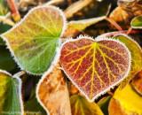 A Frosty Leaf