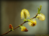 Catkin's On A Willow Tree