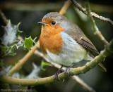 A Cute Little Robin