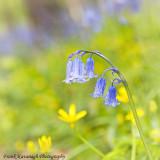 The Beautyful Bluebell