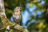 A Song Thrush doing what he does best.