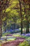 An Irish Bluebell Wood