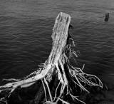 Dead tree at the riverside II