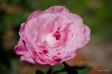 Sweet Surrender Rose