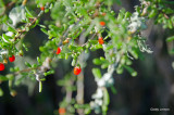 Willie Browne Trail - Christmas Berry