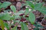 Willie Browne Trail -  More Red Berries