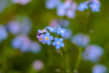 'Forget me Not'