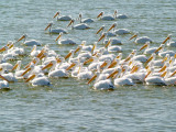 American White Pelican - 1-6-11 Robco Lake, Shelby Co. TN