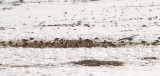 Lapland Longspur - 1-12-11 Shelby Farms in snow.