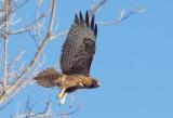 Red-Tailed Hawk - 2-11-11- juvenile, intermediate dark morph calurus.