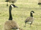 Cackling Goose - Canada Goose compare - 2-3-11 Shelby Farms.