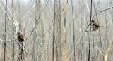 Fox Sparrows - 2-4-11 Eagle lake Refuge.