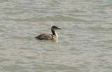 Red-necked Grebe - 2-20-11 Robco Lake