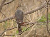 Coopers Hawk - 3-27-11 Fresh Cardinal Kill - Ensley.