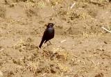 Brewers Blackbird - 3-31-11 Ensley - male.