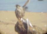 Peregrine Falcon -1-12- 2011 -immature - Arkabutla Lake  with Bonaparte's Gull.jpg