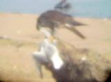 Peregrine Falcon - 1-12-2011 -immature - Arkabutla Lake  with Bonaparte's.