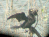 Neotropic Cormorant - 7-10-11 Dyer Co. GRR - 2nd adult -