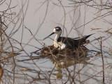Black-necked Stilt - 6-5-11  Male on nest after rain- Ensley.