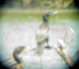 Neotropic Cormorant - 6-19-11 Lake 9 KY -