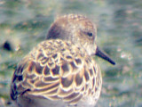 May Peep - Plus short billed Western Sandpipers - Ensley Bottoms, Memphis TN