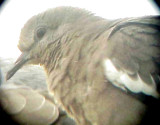 White-winged Dove - 8-10-2011 - Presidents Is. adult head