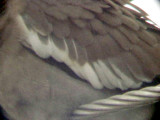 White-winged Dove - 8-10-2011 - Presidents Is. - adult bird's  wing coverts