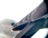 White-winged Dove - 8-10-2011 - Presidents Is. - imm. wing.