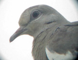 White-winged Dove - 8-10-2011 - Presidents Is. 3rd adult - head