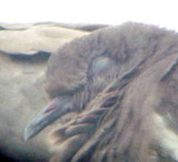 White-winged Dove - 8-10-2011 - Presidents Is. - imm. head.