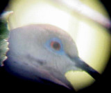 White-winged Dove - 8-12-2011 - Presidents Is. calling male -