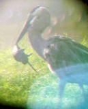 Great Blue Heron - 8-14-2011 - Rat Hunter