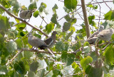 White-winged Dove - 8-17-2011 - Presidents Is.