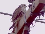 Prairie Falcon - 11-27-2011 immature - Tunica Co. MS.