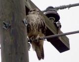 Prairie Falcon - 11-27-2011 immature - Tunica Co. MS -