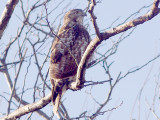 Red-tailed Hawk - 11-30-2011 - imm. borealis Tunica Co. MS