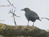 American Crow - 2-26-2012 - Bartlett TN.