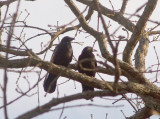 American Crow - 2-26-2012 - Bartlett TN pair.