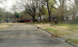 Turkey Vulture - 2-22-2012 - Midtown Memphis, TN.