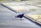 Turkey Vulture - 2-22-2012 - midtown on roadkill.