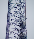 Vulture Roost - radio tower on South Third in Memphis, TN.