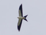 Swallow-tailed Kite - 8-4-2012 -  RD Slaughterhouse - Colledge Station and Highway 127