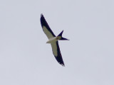Swallow-tailed Kite - 8-4-2012 - 1 of 7 south of Pikeville TN.
