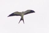 East TN Swallow-tailed Kites