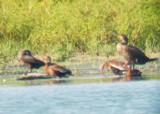 Neotropic Cormorant - 8-19-2012 - Immature - Ensley TVA Lake