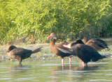 Neotropic Cormorant - 8-19-2012 Ensley TVA Lake